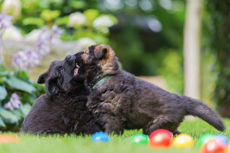 two old german shepherd puppies scuffle on the lawn