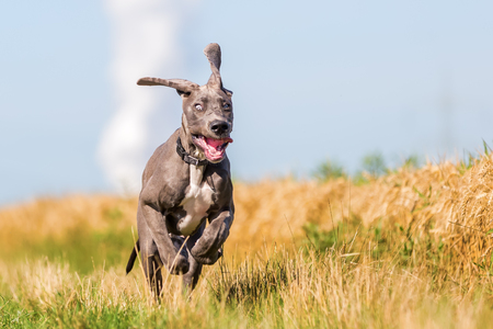picture of a cute great dane puppy who is running on a country path Stok Fotoğraf