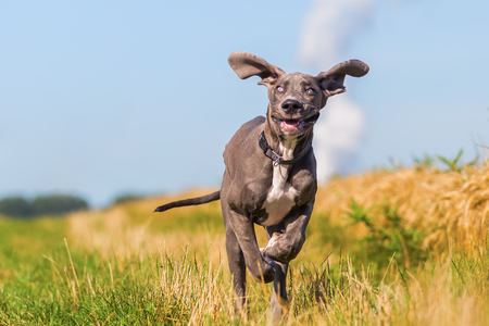 picture of a cute great dane puppy who is running on a country path Stock Photo