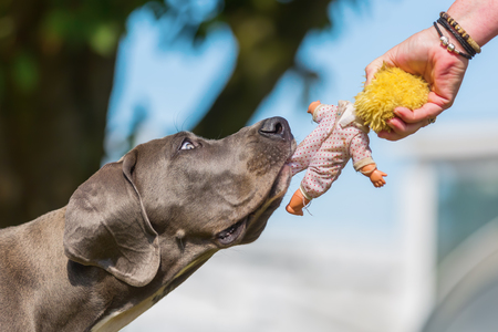 female hand holds a puppet and a great dane puppy pulls at a puppet pulls at it Foto de archivo