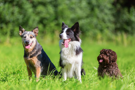 portrait picture of an Australian cattledog, a border collie and a Havanese dog who are sitting on a meadow