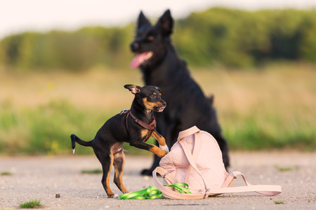 pinscher hybrid puppy plays at a womans handbag with a black dog in the background