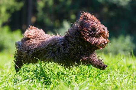 cute brown Havanese dog running on the meadow