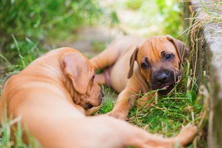 romp: two cute Rhodesian Ridgeback puppies are romping outdoors