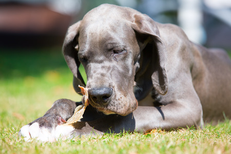 picture of a great dane puppy who lies on the lawn and chews at a pigs ear