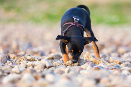 cute pinscher hybrid puppy sleuths on the ground of a pebble beach