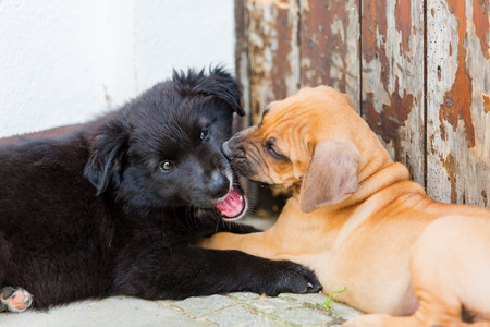 romp: cute Rhodesian Ridgeback and Australian Shepherd puppies are playing together