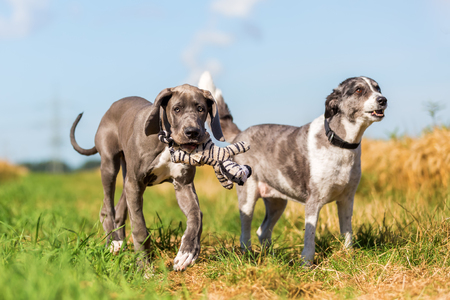 picture of a Great Dane puppy and an Australian Shepherd who are running on a country path Stock Photo