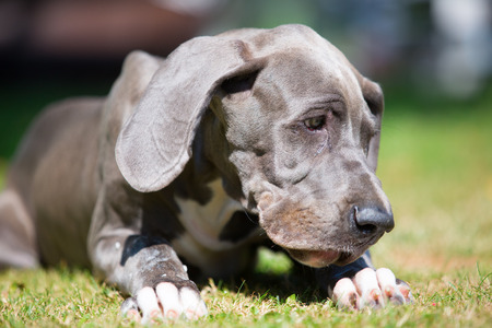 portrait of a great dane puppy who lies on the lawn Stock Photo