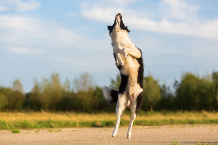 picture of a border collie who jumps for a thrown treat