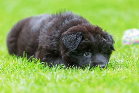 portrait of a cute Old German Shepherd puppy who lies in the grass Stock Photo