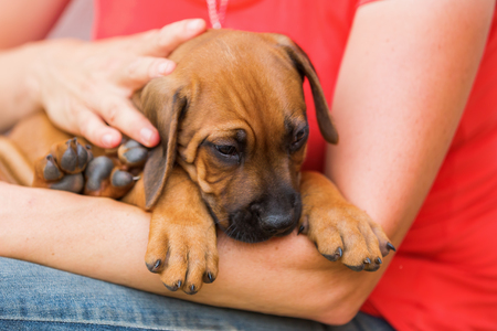 woman holds a Rhodesian Ridgeback puppy in the hands and pets him Stock Photo