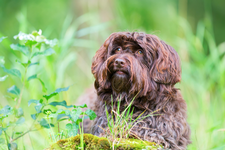 outdoor portrait of a cute Havanese dog