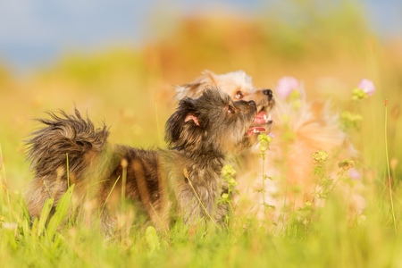 Two Havanese hybrid dogs on the meadow in warm evening light