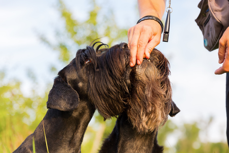 Woman gives her two standard schnauzer a treat