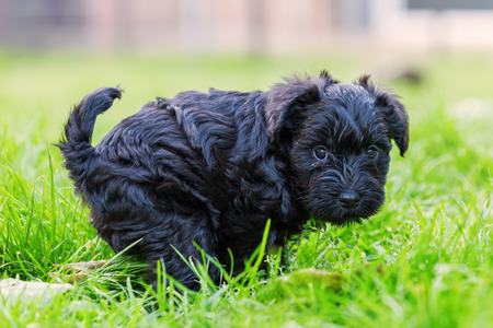 Picture of a cute schnauzer puppy who defecates in the grass