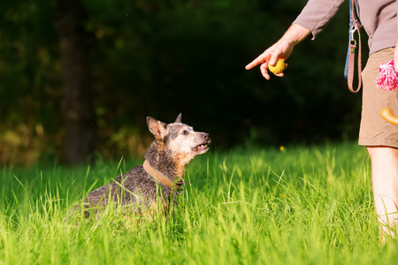Man plays with an Australian cattledog outdoor