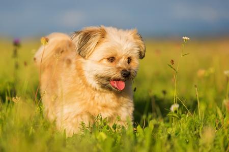 Portrait of a cute Havanese hybrid outdoors Stock Photo