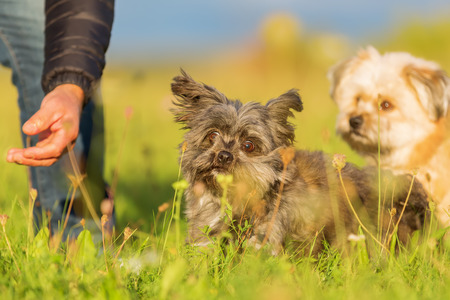 Man plays with two Havanese hybrid dogs on the meadow
