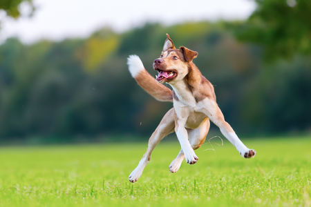 picture of a hybrid dog who jumps on a meadow Foto de archivo
