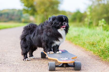 picture of a Pekinese dog who stands on a skateboard Stock Photo