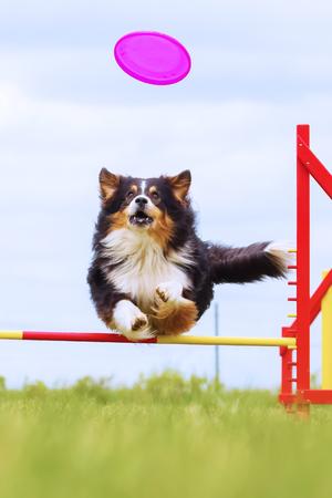 Australian Shepherd jumps over a hurdle of an agility field