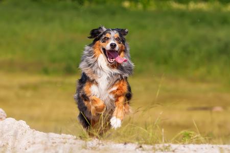 picture of an Australian Shepherd dog who runs outdoors
