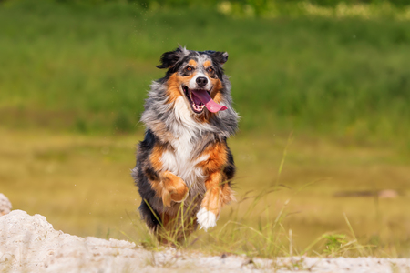 picture of an Australian Shepherd dog who runs outdoors