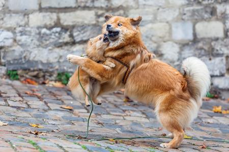 schattige elo hond en pomerian hond spelen op een geplaveide weg