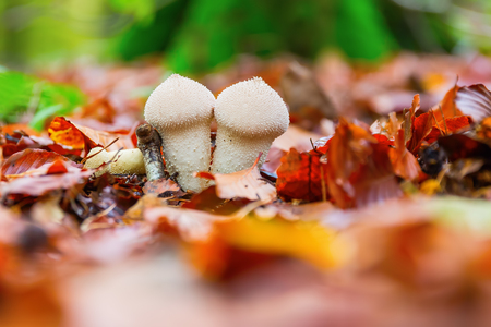 common puffball on the forest floor with autumn leaves