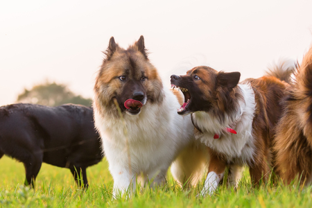 picture of two elo dogs and a labrador who play outdoors Zdjęcie Seryjne