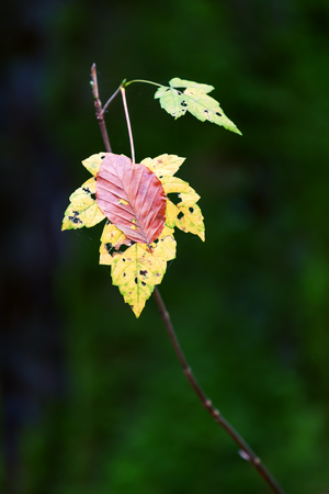 picture of an autumnal colored leaf with a further leaf on it
