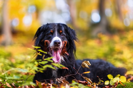 portrait picture of a Bernese mountain dog in an autumn forest
