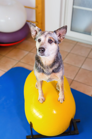 picture of an Australian Cattledog who sits on a trainings device in an animal physiotherapy office
