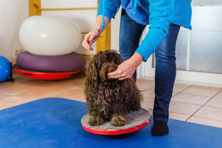 woman works with a Havanese on training devices in a physiotherapy office