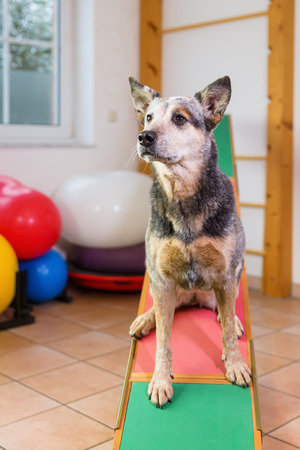 Australian Cattledog sits on a seesaw in an animal physiotherapy office Stock Photo