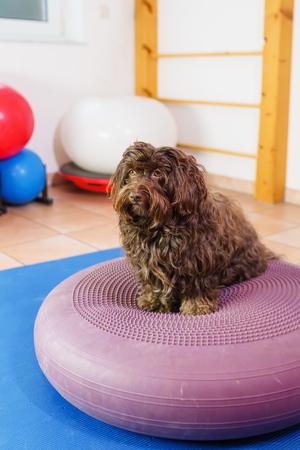 picture of a Havanese who stands on a training device in an physiotherapy office
