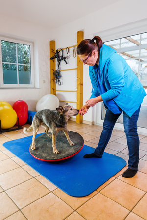 woman works with an Australian Cattledog on training devices in a physiotherapy office