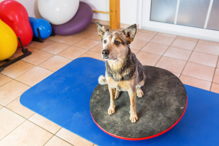 Australian Cattledog sits on a wobble board in an animal physiotherapy office