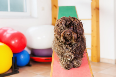 Havanese dog sits on a seesaw in an animal physiotherapy office Stock Photo