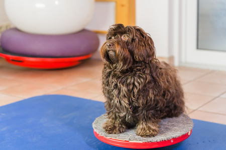 Havanese sits on a wobble board in an animal physiotherapy office