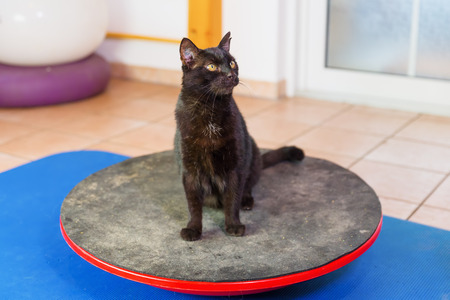 black cat stands on a wobble board in an animal physiotherapy office Stock Photo