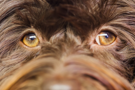 closeup picture of eyes of a Havanese dog