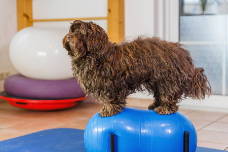 picture of a Havanese who sits on a trainings device in an animal physiotherapy office