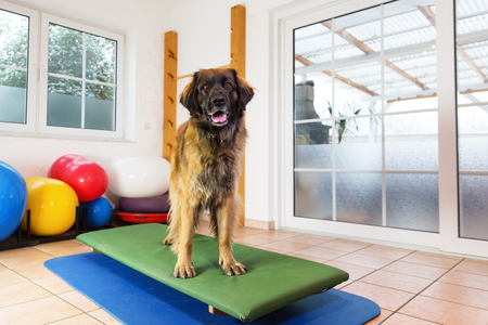 Leonberger stands Leonberger stands on a wobble board in an animal physiotherapy office