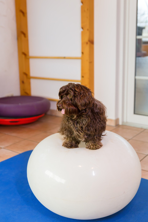 Havanese sits on a balance ball in an animal physiotherapy office
