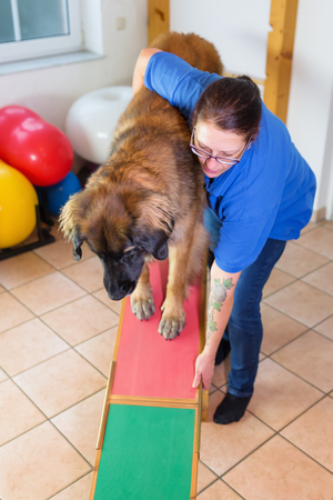 woman works with a Leonberger on a seesaw in an animal physiotherapy office