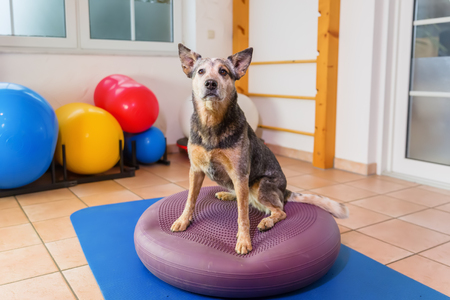 picture of a Australian Cattledog who stands on a training device in an physiotherapy office