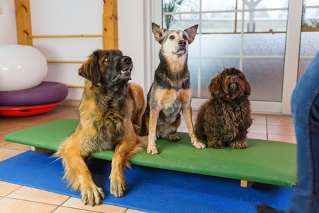 a Leonberger, an Australian Cattledog and a Havanese are sitting on a wobble board in an animal physiotherapy office Stock Photo