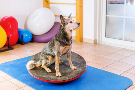 Australian Cattledog stands on a wobble board in an animal physiotherapy office